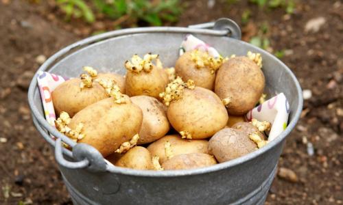 Для качественного урожая: как подготовить картофель к посадке
