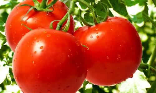 Сколько нужно воды для полива помидоров: как не навредить растению